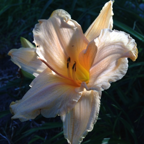 Daylily, front garden